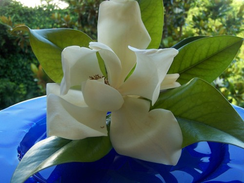Magnolia's Blue Dream and its Uncompromising Purity