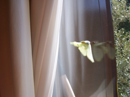 Nefeli in the study's curtains looking for him ...