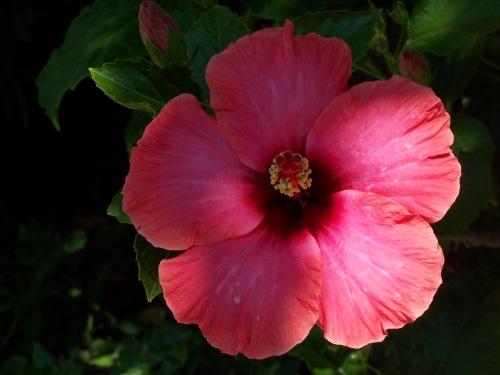 Hibiscus Smiles