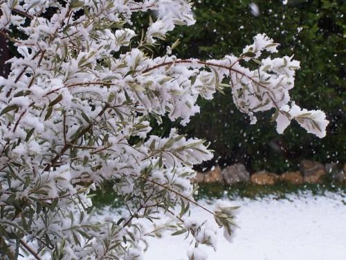 Snow-clad Olive tree