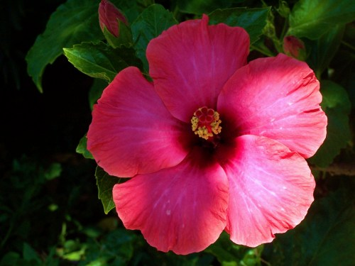 Hibiscus on Easter Holidays