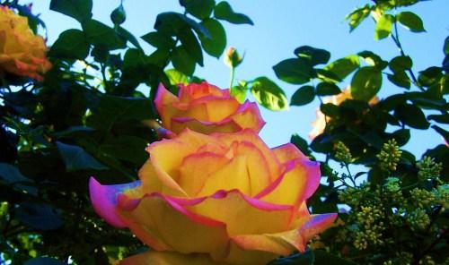 Rosy Promises