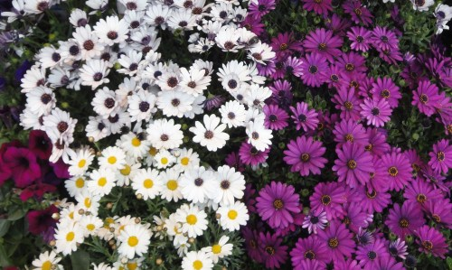 White and Purple stars in the garden ...