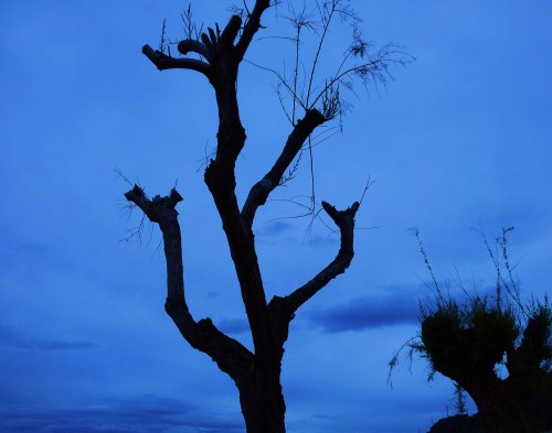 The barren branches of Tamarix waiting for the miracle ...