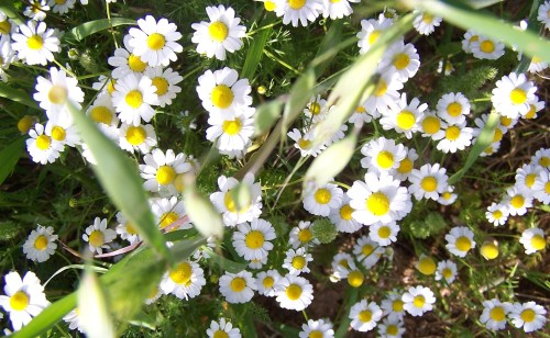 Chamomile Smiles under the Attica Sun ...